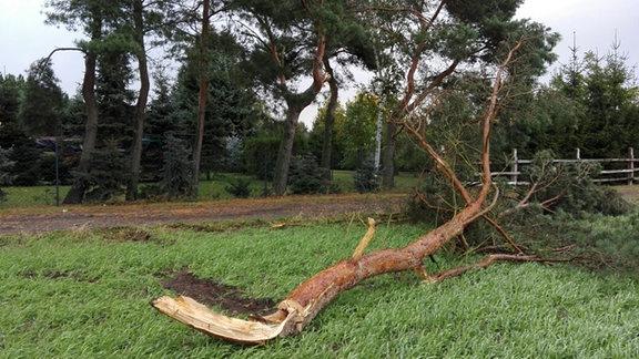 Ein abgeknickter Baum liegt auf einer Wiese. Fotografiert von Sandy in Doberschütz.