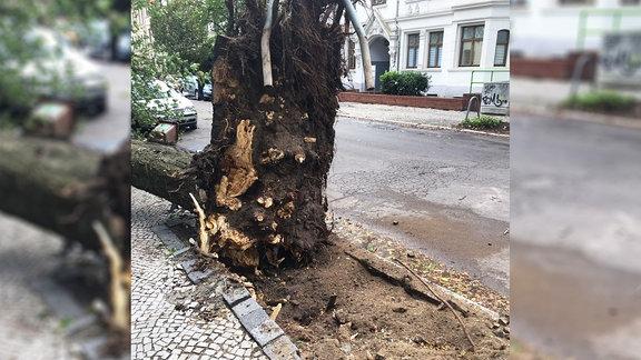 Ein entwurzelter Baum. Fotografiert von Ron in Zerbst.
