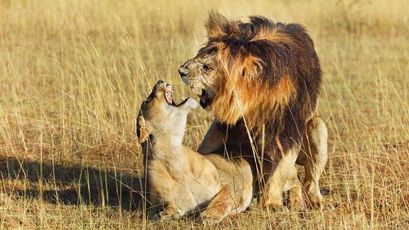 Ein Löwenpärchen beim Liebesspiel in afrikanischer Savanne.