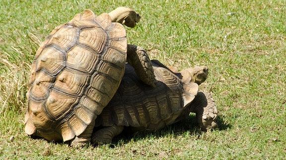 Spornschildkröte bei der Paarung